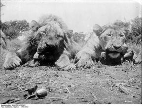 781px-Bundesarchiv_Bild_105-DOA0822,_Deutsch-Ostafrika,_Zwei_Löwen